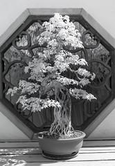 DSC_3855s (An Xiao) Tags: arboretum bonsai penjing