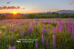 Sugar Hill New Hampshire Lupine (Bill Wakeley) Tags: morning flowers sun mountains floral sunrise morninglight spring glow purple newengland newhampshire franconia ethereal glowing mornings pastures wildflowers sunrises pastoral wildflower springflowers purpleflower lupine starburst warmlight thesun morningsun purpleflowers sugarhill lupines northernnewengland springflower presidentialrange thewhitemountains sceniclandscape sceniclandscapes newenglandlandscape floweringlandscape floweringlandscapes