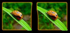 Ladybug Pupa 2 - Parallel 3D (DarkOnus) Tags: macro closeup insect stereogram 3d phone pennsylvania cell stereo ladybug parallel pupa stereography buckscounty pupae huawei mate8 darkonus