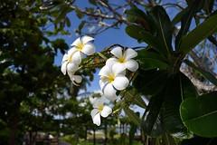 Nusa Dua, Indonesia (Nam__b) Tags: blue sky bali plant flower tree green nature indonesia outdoor