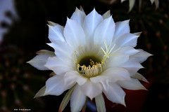 Echinopsis (Paolo Bonassin) Tags: flowers cactus cactaceae echinopsis succulente cactacee