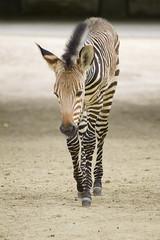 Hartmanns Bergzebra (KevinVar) Tags: equus hartmannae zoo antwerpen zebra hartmanns mountain berg