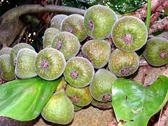 Fig  #12: ROXBURGH  #4   (Bangla = ) (3Point141) Tags: usa orlando florida fig leugardens roxburgh moraceae ficusauriculata ficusroxburghii peterreidel 3point141 franciscofranceschi
