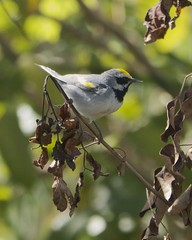 Golden-winged Warbler (Mikael Behrens) Tags: bird texas wildlife g3 warbler portaransas birdingcenter mikaelbehrens