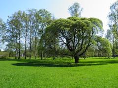 Дерево // Tree (alexyv) Tags: shadow tree cemetery stpetersburg russia rus россия дерево тень санктпетербург кладбище piskaryovskoyememorialcemetery пискарёвскоемемориальноекладбище