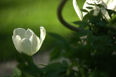 two white tulips before lawn (b.schrade@yahoo.de) Tags: 2 white plant black green spring tulips gardening negro blossoms lawn vert grn blte schwarz lenz frhling tulpen floers noire brs tulipan blhen lipps weis bschrade