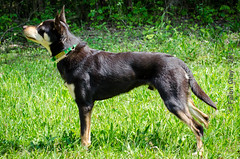 Limit 1 Year Old Stacked (falon_167) Tags: dog australian limit kelpie australiankelpie
