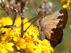Brown Elfin (Callophrys augustinus) butterfly on Golden Yarrow (Eriophyllum confertflorum, Asteraceae) - with a tiny diurnal micro-moth with very long antennae! (Treebeard) Tags: california butterfly lepidoptera asteraceae santabarbaracounty goldenyarrow sanmarcospass diurnal callophrysaugustinus brownelfin micromoth verylongantennae eriophyllumconfertflorum