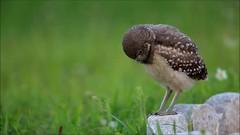 Mmmm....Bugs! (Megan Lorenz) Tags: travel wild bird nature florida wildlife owl avian birdofprey burrowingowl capecoral owlet 2013 mlorenz meganlorenz