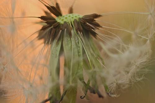blow away dandelion ❊