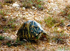 "tortuga de tierra • <a style=""font-size:0.8em;"" href=""http://www.flickr.com/photos/92957341@N07/8899956719/"" target=""_blank"">View on Flickr</a>"