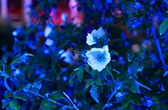 White Flower - Coloured Light (rolaaa) Tags: vienna wien blue light red plant flower leaves night contrast photography mood bokeh spot raindrops buds 50mm18 canonphotography flowersandcolors canon550d dps50mm
