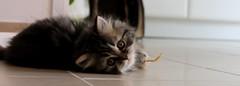 tigrou (Miiaou) Tags: joue chaton persan