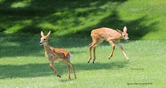 Bambinos (Lynnemvt) Tags: deer fawn whitetaileddeer babyanimals ruby3 diamondclassphotographer flickrdiamond
