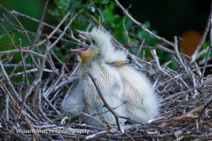 Practicing the call. (WilliamMercerPhotography) Tags: wild bird nature birds animal outdoors babies wildlife south mercer chicks fledglings nikon sigma photography william cattleegretbubulcusibis d3s 50500 southernhobbyist cattleegretbubulcusibischicks