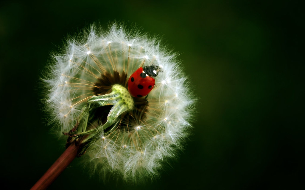 The_Ladybug_on_a_Dandelion_Wal_by_enricoagostoni