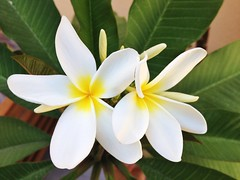 Plumeria Frangipane - Explore, Aug 2, 2013 #39 (Isabella Pirastu) Tags: uploaded:by=flickrmobile flickriosapp:filter=nofilter