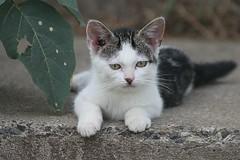 Sweet Tabby-And-White Kitten Once Again 012 (Chrisser) Tags: cats ontario canada nature animal animals cat kitten kittens ourcatcompanions crazyaboutcats kissablekat kissablekats bestofcats kissablekitties kissablekitty canoneosrebelt1i canonef75300mmf456iiiusmlens