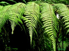 Green (JonathanPedrotti) Tags: travel newzealand fern green nature wow amazing bush rainforest tour rainyday native roadtrip experience nz stunning northland emotions kauri downunder internship yolo