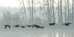 Geese in the fog-8566 (Orkakorak) Tags: sunset fog flying geese foggy favescontestwinner a3b gamex3winner gamex2sweepwinner gamesweepwinner favescontestfavoriteson favescontesttopseed favescontestfavored transcendingwinner transcendingphotoofthemonth winnerschallenge