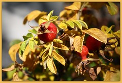 Goldene Bltter (julia_HalleFotoFan) Tags: oktober herbst wildrose frchte hebstfrchte
