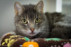 A1554659 (Crooked-Kitty) Tags: rescue cat rat tabby calico hamster adopt carlsbadcalifornia domesticshorthair sandiegoanimalshelter