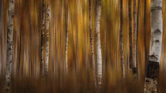 Autumn Haze (dbushue) Tags: autumn trees abstract blur fall nature alaska photoshop landscape haze nikon motionblur filter aspens unfocused postprocessing blueribbonwinner coth 2013 damniwishidtakenthat coth5