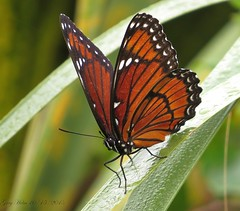 Viceroy Butterfly (Gary Helm) Tags: nature canon butterfly bug outside florida wildlife first incect centralflorida polkcounty viceroybutterfly circlebbarreserve marshrabbitrun
