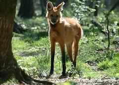 Chrysocyon brachyurus - Maned Wolf  - Loup  crinire - 19/04/07 (Philippe_Boissel) Tags: captive mammals mammifre carnivora manedwolf canidae chrysocyonbrachyurus loupcrinire 6368b