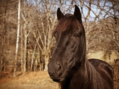 Brown Beauty (TnOlyShooter) Tags: horse brown mare equestrian