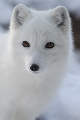 Arctic Fox Closeup by Mark Dumont, on Flickr