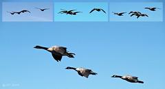 Canada Goose (Branta canadensis) (zeesstof) Tags: statepark park lake birds geese nevada laketahoe canadagoose brantacanadensis canon7d caverockstatepark canonefs18135mmf3556is zeesstof