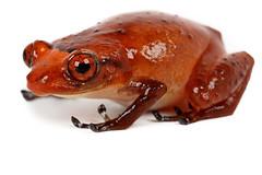 Diasporus gularis (Santiago Ron) Tags: macro amazon amphibian frog andes sapo rana anura amphibia