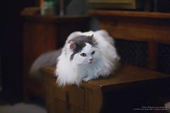 IMG_0261 (mau-daban) Tags: cat kitty