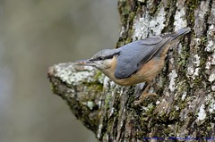 Nuthatch. (spw6156 - Over 4,880,054 Views) Tags: light copyright steve  iso nuthatch waterhouse 800poor