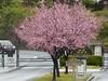 A WINTER DAY ! (outdoorPDK) Tags: floweringplum