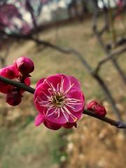 Donghu Park - Blossom (zwillingga) Tags: pink pretty blossom plumblossom
