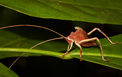Leaf-mimic Katydid (Xuberant Noodle) Tags: forest bug insect belize jungle camouflage katydid antenna antennae