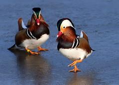 Mandarin Duck Team Pursuit (Ger Bosma) Tags: cute animal animals fun funny humorous joke humor humour mandarinduck comical aixgalericulata mandarinente mandarijneend canardmandarin patomandarn patomandarim anatramandarina  mygearandme mygearandmepremium mygearandmebronze mygearandmesilver mygearandmegold 2mg10643