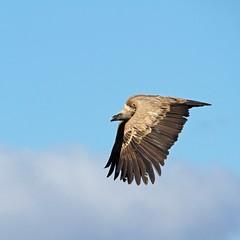 IMG_2037 (berserker170) Tags: buitre vulture eos 7d canon mountain montaña monfragüe invierno winter flickrexploreme