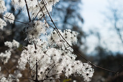 20140304-_DSC2389_1280 (jluebeck) Tags: forrest clematis