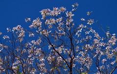 Spring time (Sougata2013) Tags: blue sky india flower nature spring nikon village april mandi himachalpradesh 2014 nikond3200 kanchan villageside kamand kamandvillage