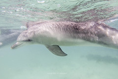 Dolphin (john white photos) Tags: sea wild swim marine dive australian australia diving remote southaustralia eyrepeninsula bairdsbay