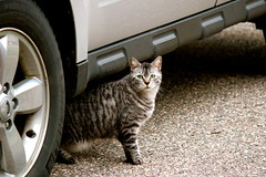 Tiger By The Tire (Jeanne W Pics) Tags: pet car minnesota animal cat canon outside eyes furry midwest kitty ears greeneyes driveway vehicle dslr canonrebelt3i