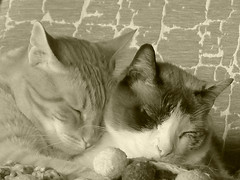 In Good Company - Sweet Dreams (Marga_D...) Tags: naturaleza cats monocromo natura gatos dreaming animales asleep mascotas dormidos