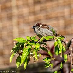 Sparrow. (greeny 1) Tags: nature wildlife olympus lancashire micro 43 omd em1