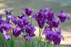 Purple Tulips (aeschylus18917) Tags: flowers flower nature japan spring purple tulip   tulipa ibaraki 80400mm liliaceae hitachinaka cultivar ibarakiken     hitachinakashi hitachiseasidepark danielruyle aeschylus18917 danruyle druyle   kokueihitachikaihinken