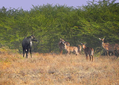 Catching up, friends !!! (Lopamudra !) Tags: blue wild india male nature animal fauna female forest wildlife young bull gujarat gujrat kutch nilgai rann bluebull lopamudra rannofkutch littlerann lopamudrabarman