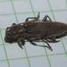 Cerambycidae Cerambycinae>Elaphidiini? Longicorn Beetle DSCF6471