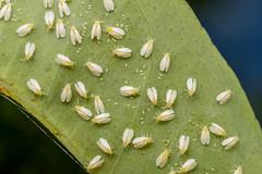 Citrus Whitefly (debatron500) Tags: white bug insect leaf australian eggs waxy lemontree sucking pest whiteflies macrophoto hemiptera orchamoplatuscitrus citruswhitefly